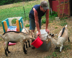 Feeding Milk to American Alpine Goat Kids