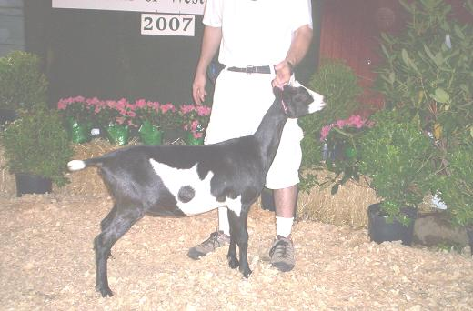 Dixie Does Alpine Goats