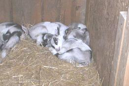 American Alpine Goat Kids sleeping